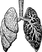 lungs-37825__180
